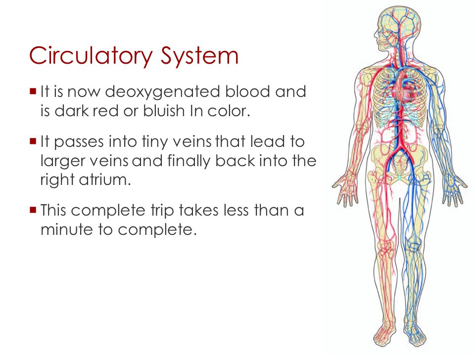 Circulatory System It is now deoxygenated blood and is dark red or bluish In color.