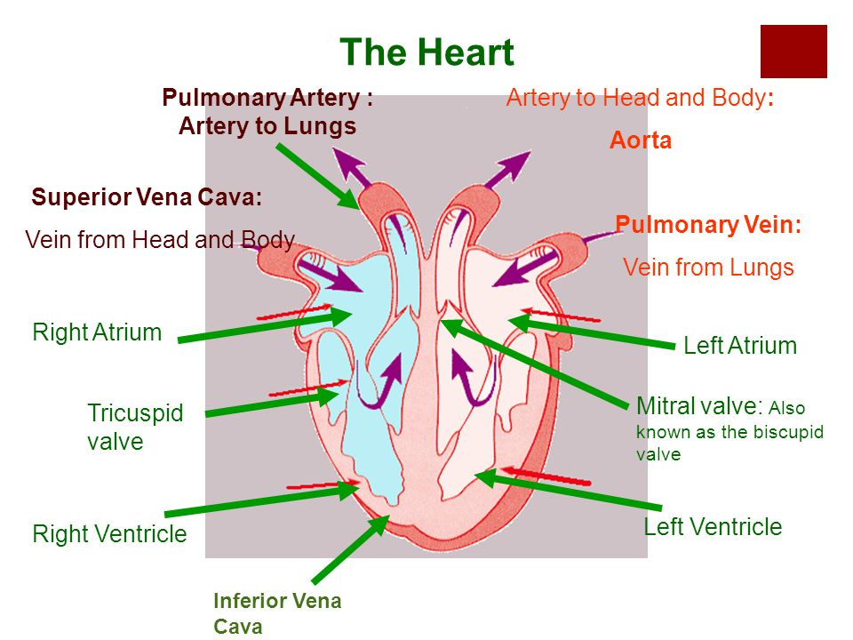 Pulmonary Artery : Artery to Lungs