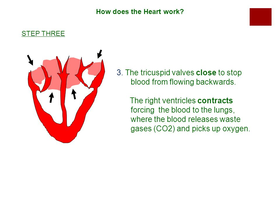 3. The tricuspid valves close to stop blood from flowing backwards.