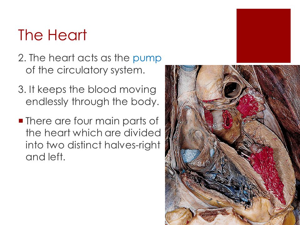 The Heart 2. The heart acts as the pump of the circulatory system.
