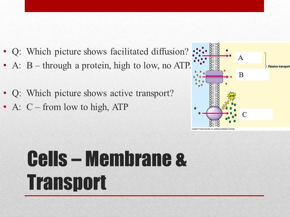 Cells – Membrane & Transport