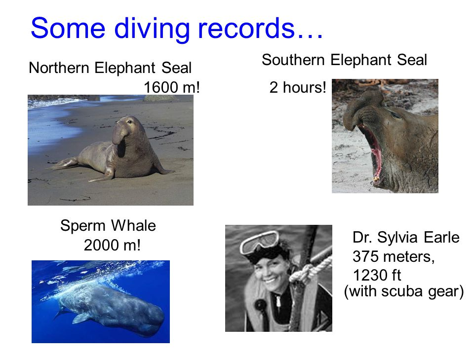 Some diving records… Southern Elephant Seal Northern Elephant Seal