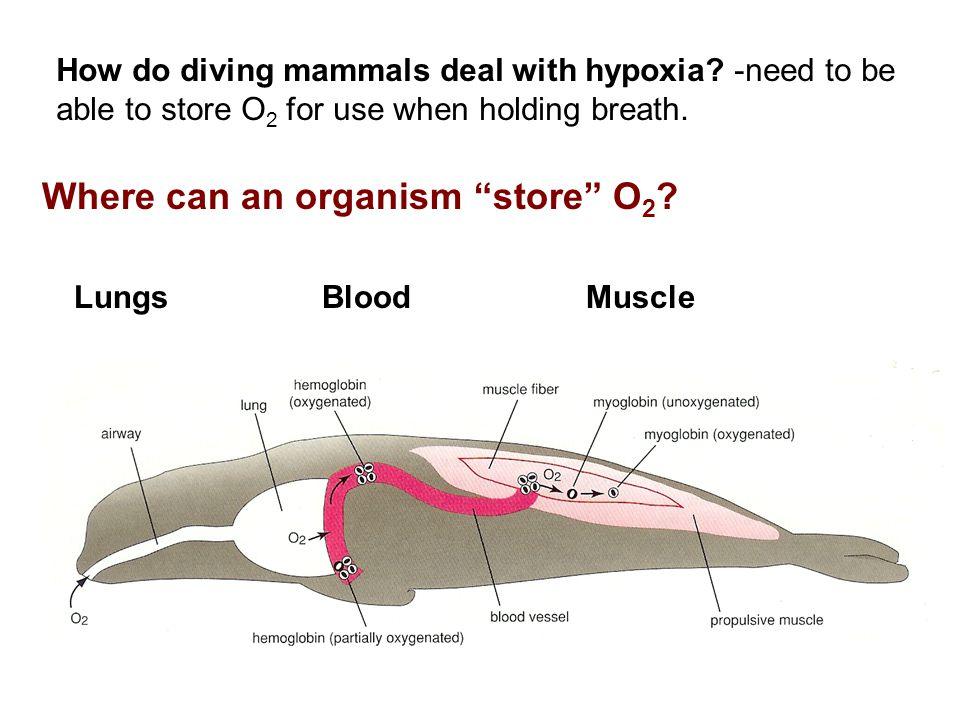 Where can an organism store O2
