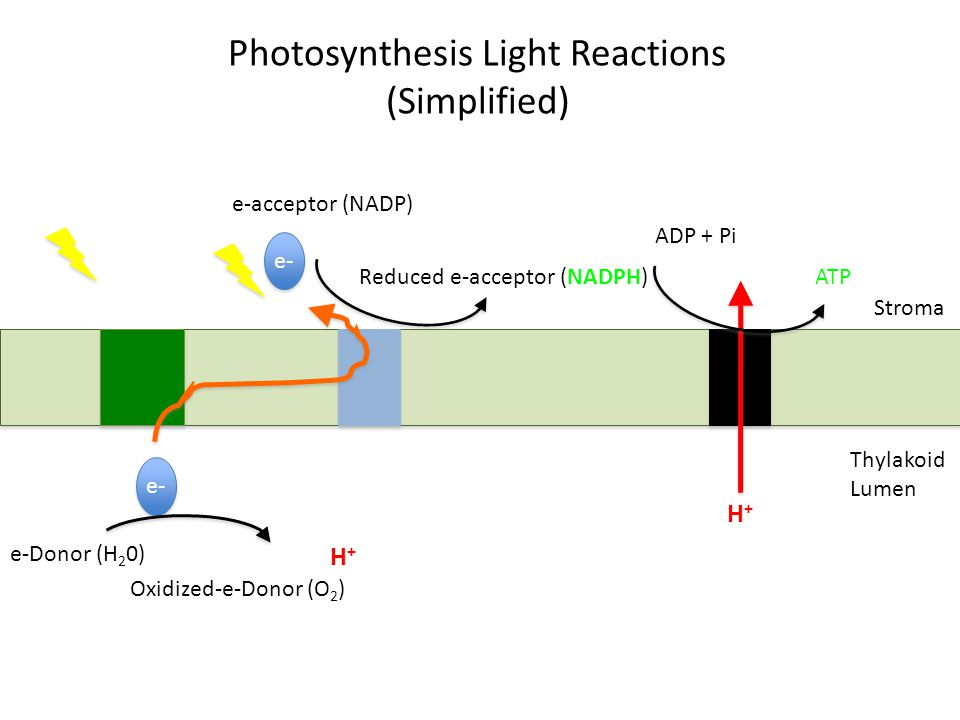 Photosynthesis Light Reactions