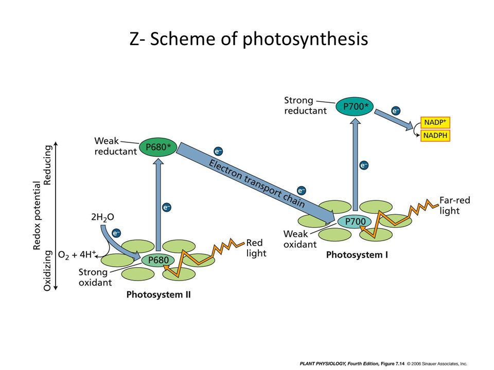 Z- Scheme of photosynthesis