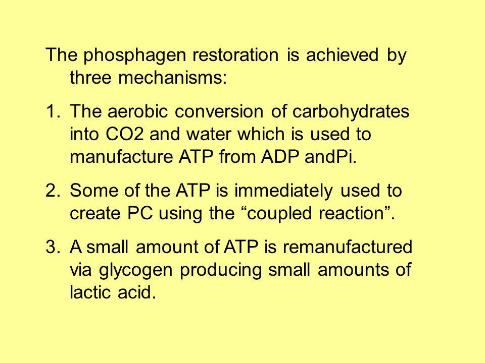 The phosphagen restoration is achieved by three mechanisms: