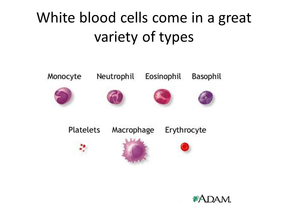 White blood cells come in a great variety of types