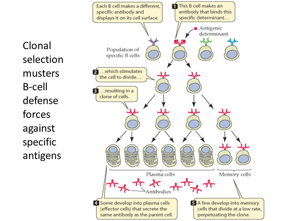 Clonal selection musters B-cell defense forces against specific antigens