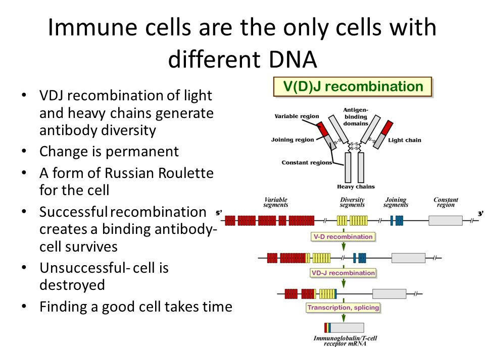 Immune cells are the only cells with different DNA