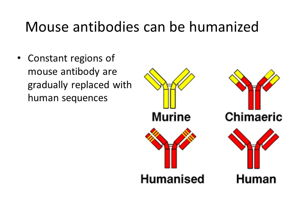 Mouse antibodies can be humanized