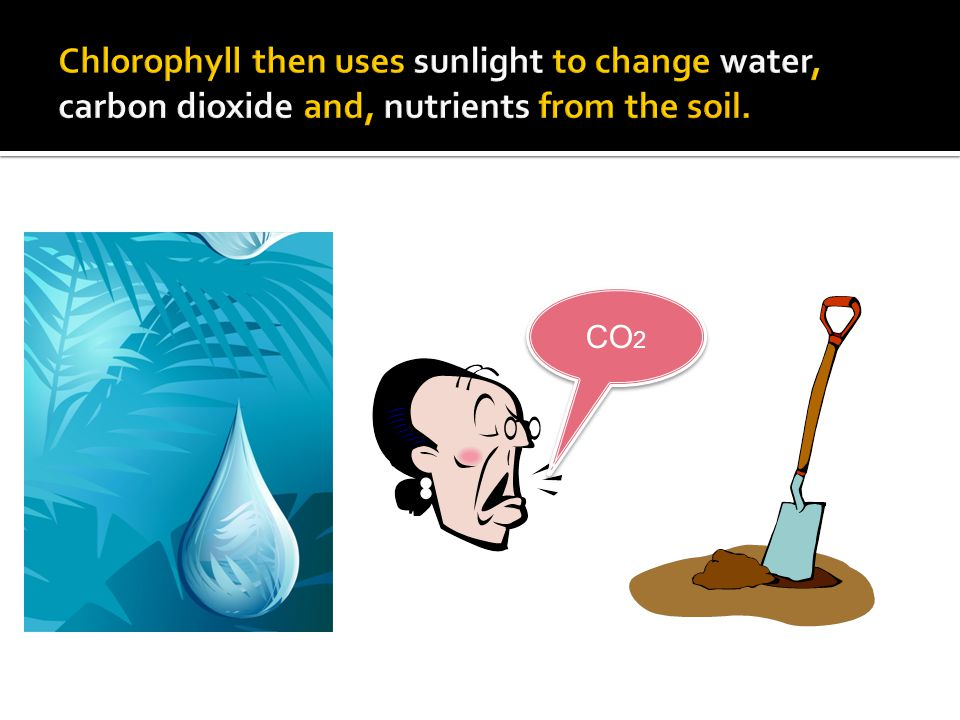 Chlorophyll then uses sunlight to change water, carbon dioxide and, nutrients from the soil.