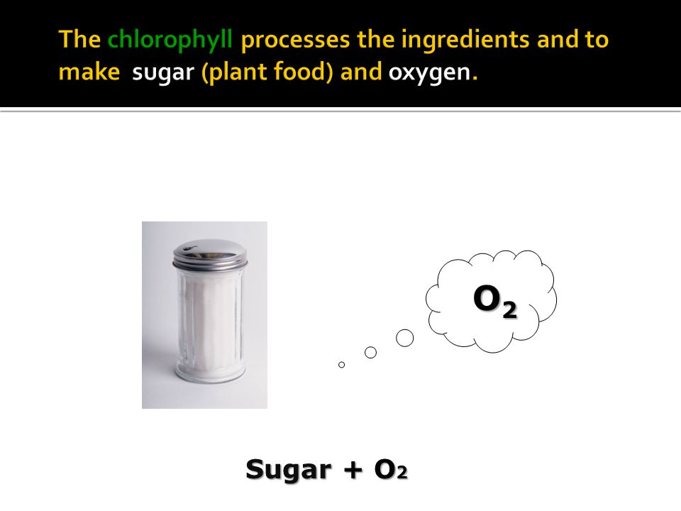 The chlorophyll processes the ingredients and to make sugar (plant food) and oxygen.