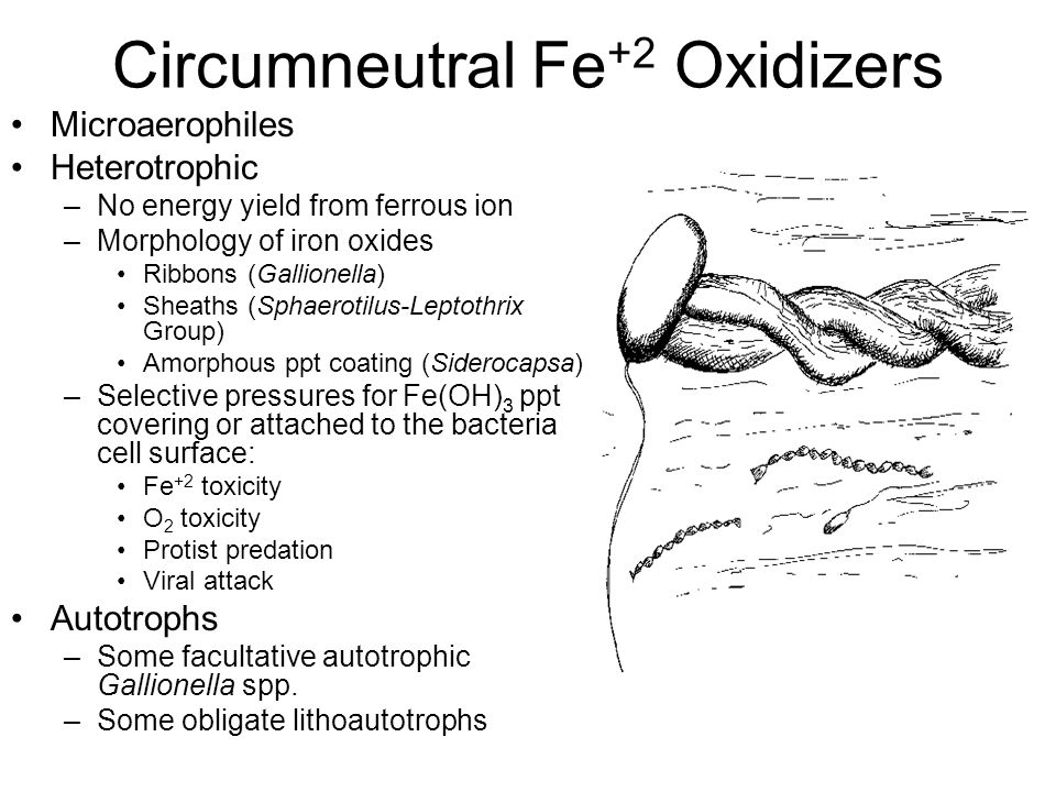 Circumneutral Fe+2 Oxidizers