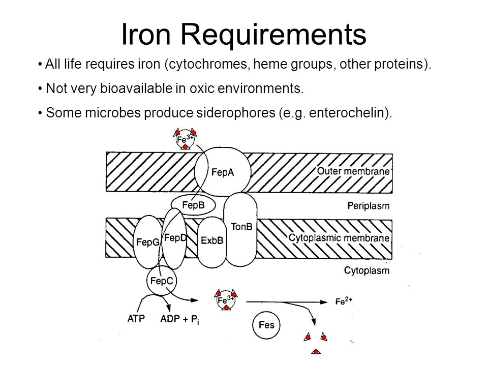Iron Requirements All life requires iron (cytochromes, heme groups, other proteins). Not very bioavailable in oxic environments.