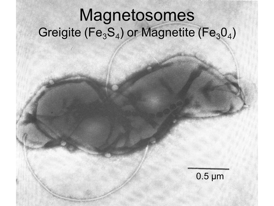 Magnetosomes Greigite (Fe3S4) or Magnetite (Fe304)