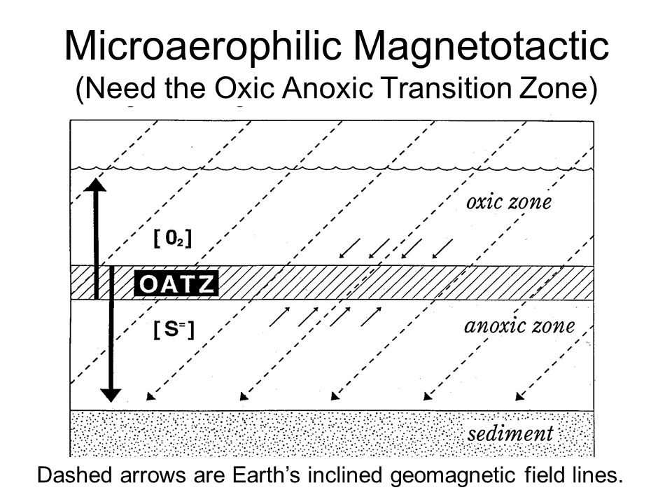 Microaerophilic Magnetotactic (Need the Oxic Anoxic Transition Zone)