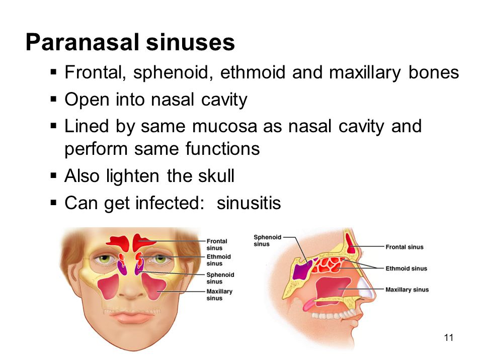 Paranasal sinuses Frontal, sphenoid, ethmoid and maxillary bones