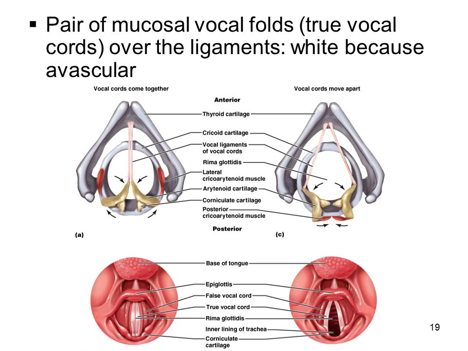 Pair of mucosal vocal folds (true vocal cords) over the ligaments: white because avascular