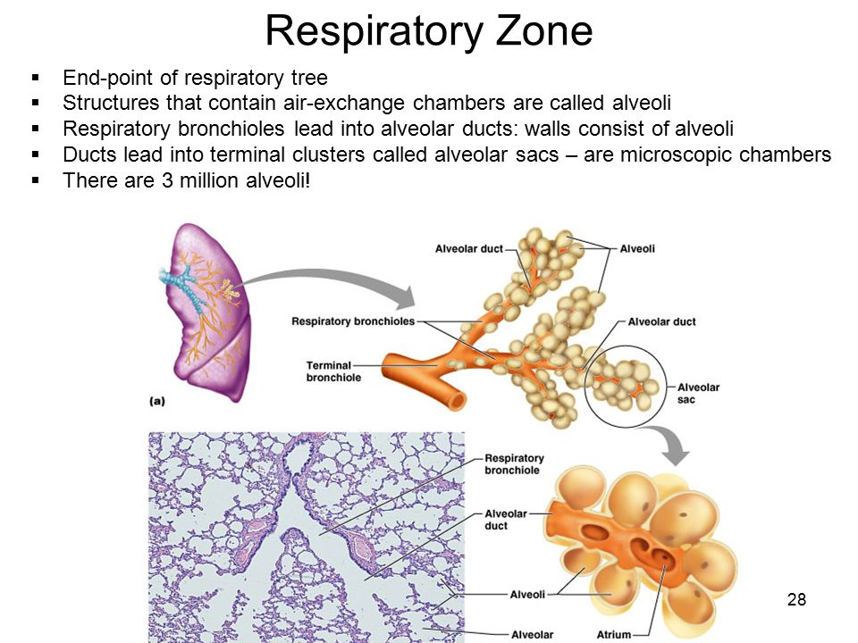 Respiratory Zone End-point of respiratory tree