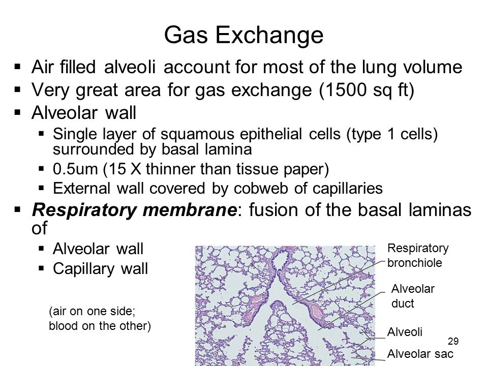 Gas Exchange Air filled alveoli account for most of the lung volume