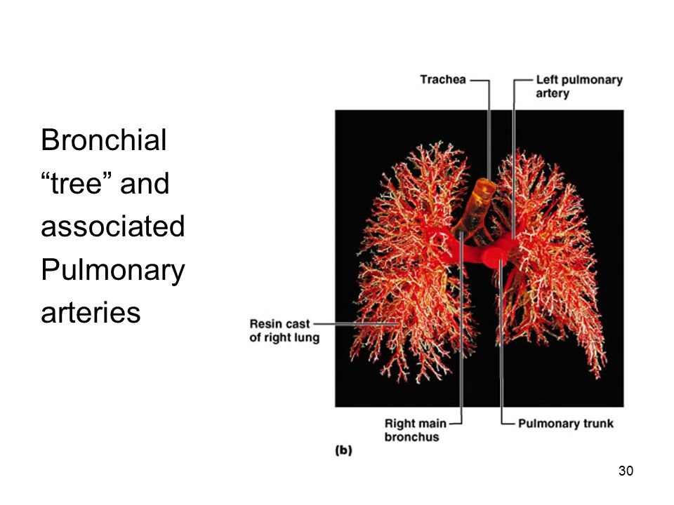 Bronchial tree and associated Pulmonary arteries