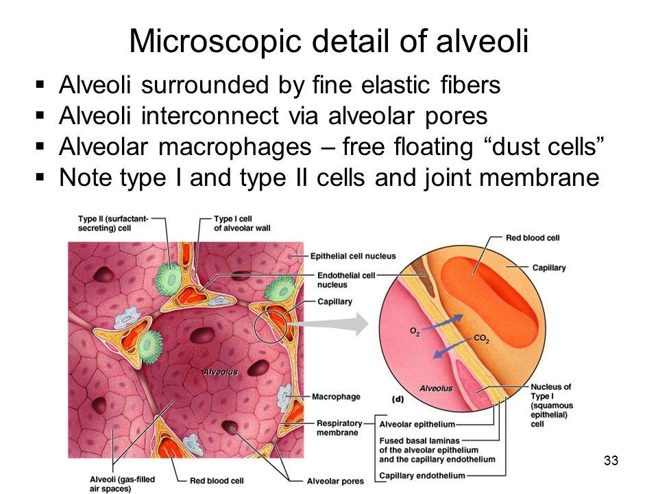 Microscopic detail of alveoli