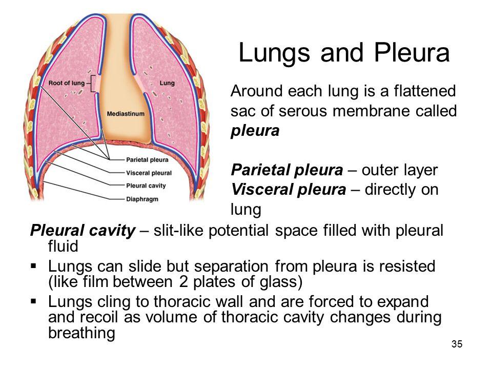 Lungs and Pleura Around each lung is a flattened sac of serous membrane called pleura. Parietal pleura – outer layer.