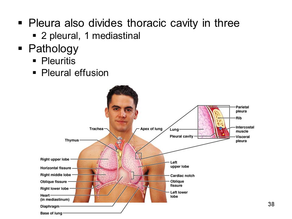 Pleura also divides thoracic cavity in three Pathology