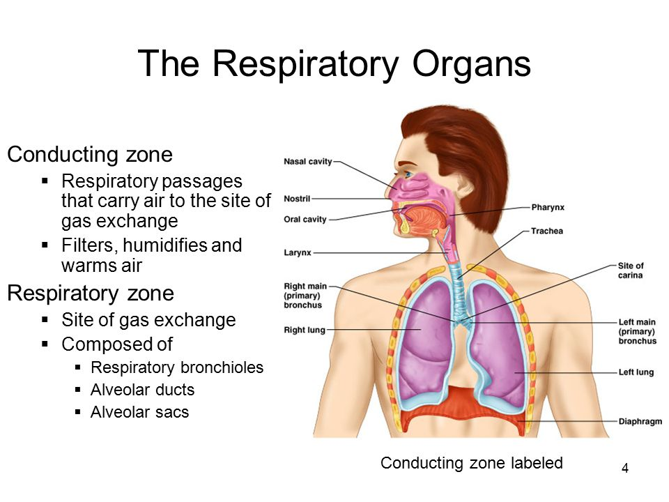 The Respiratory Organs