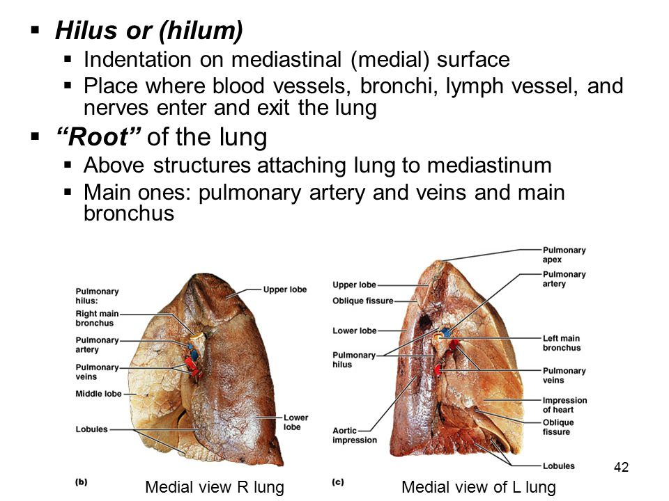 Hilus or (hilum) Root of the lung