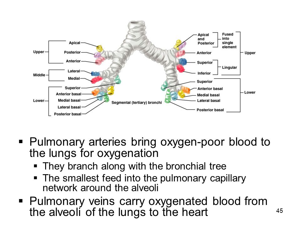 Pulmonary arteries bring oxygen-poor blood to the lungs for oxygenation