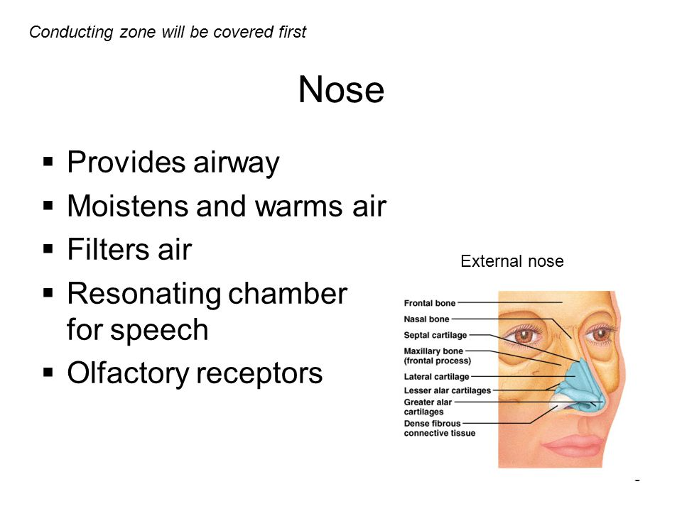Nose Provides airway Moistens and warms air Filters air