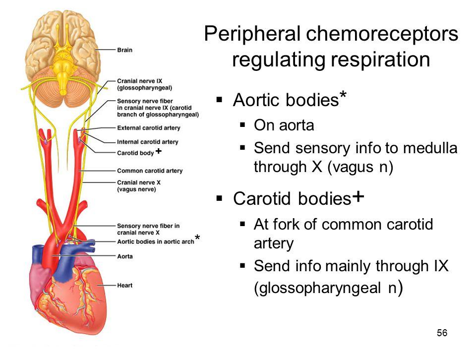Peripheral chemoreceptors regulating respiration