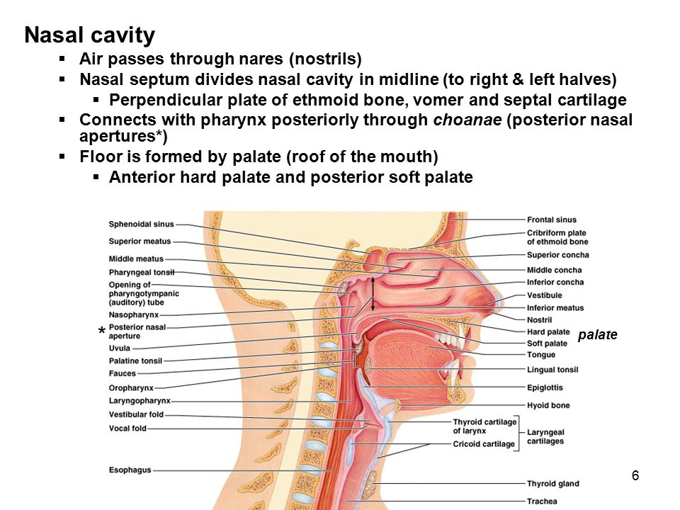 Nasal cavity * Air passes through nares (nostrils)
