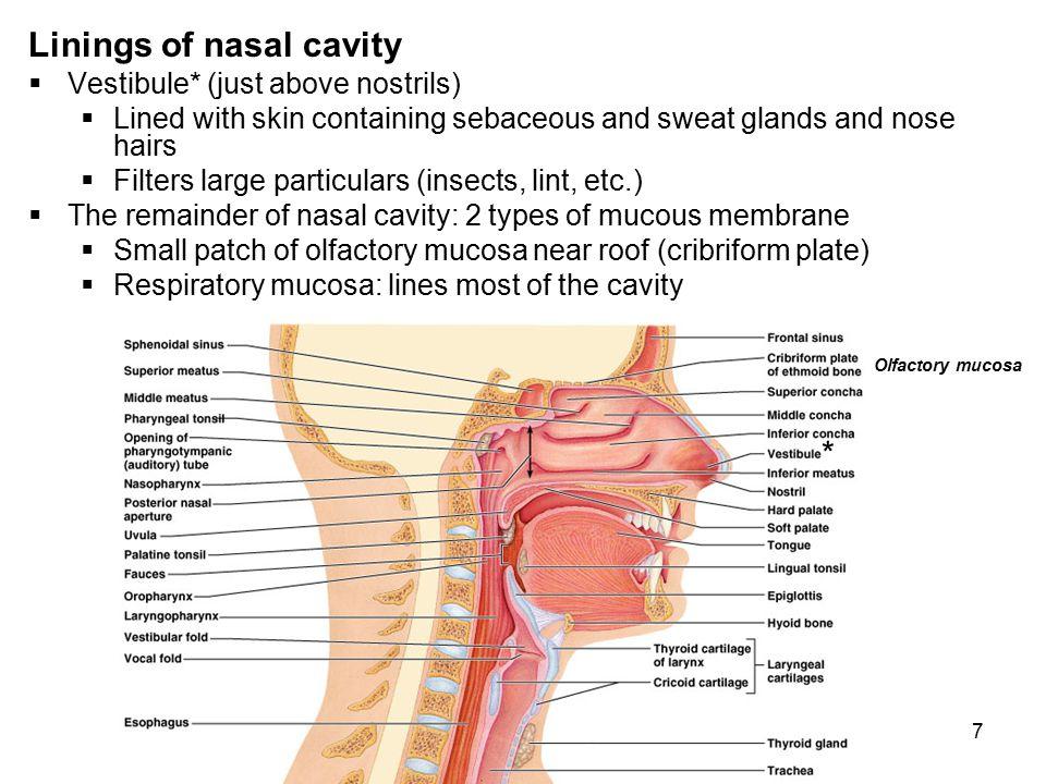 Linings of nasal cavity