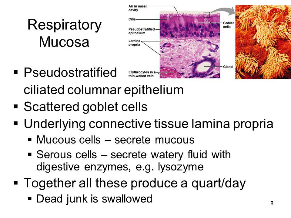 Respiratory Mucosa Pseudostratified ciliated columnar epithelium