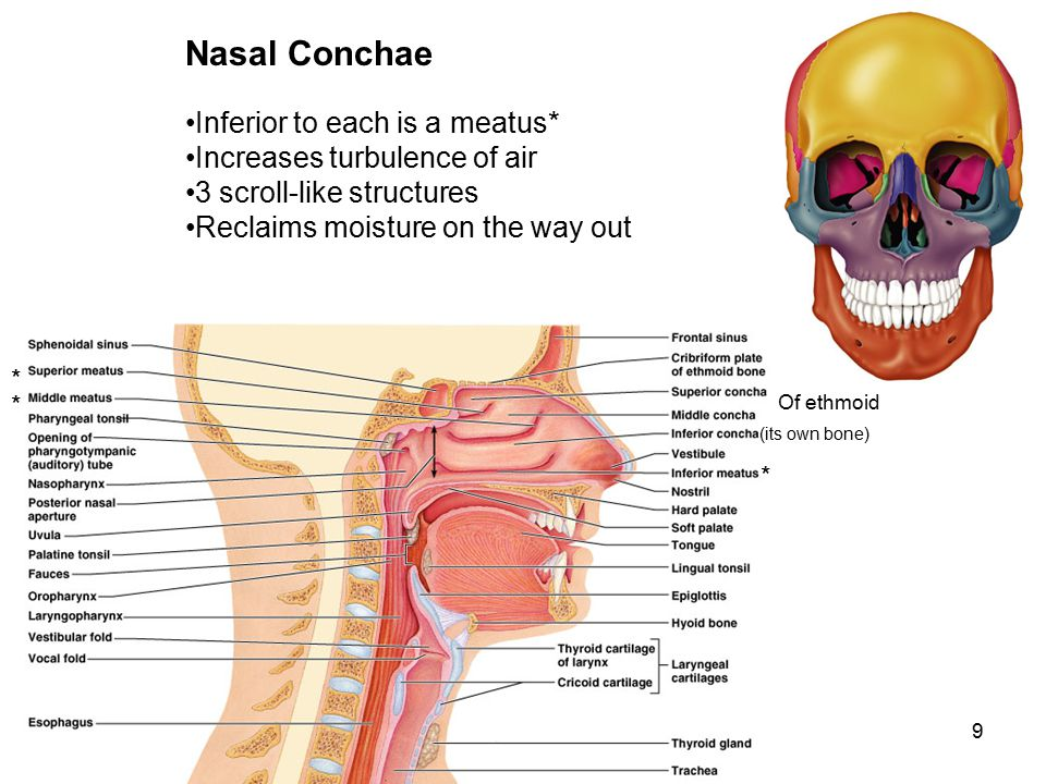 Nasal Conchae Inferior to each is a meatus*