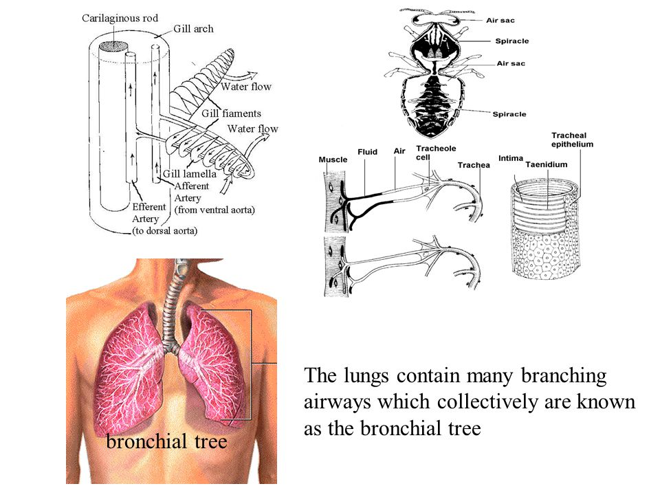The lungs contain many branching airways which collectively are known as the bronchial tree