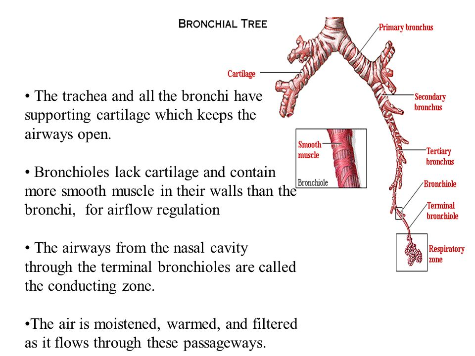 • The trachea and all the bronchi have supporting cartilage which keeps the airways open.