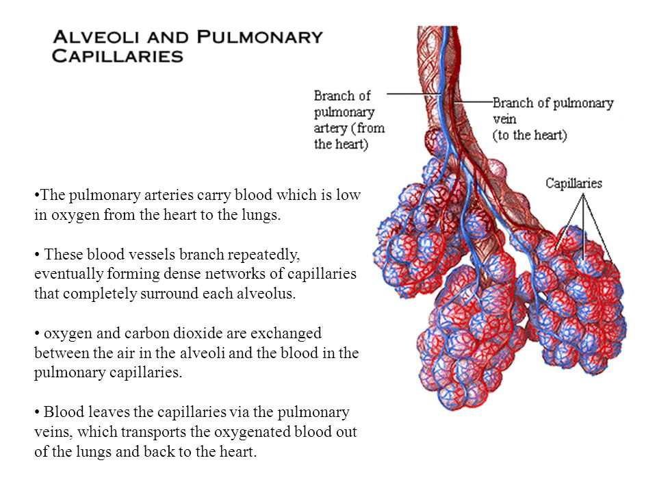 The pulmonary arteries carry blood which is low in oxygen from the heart to the lungs.