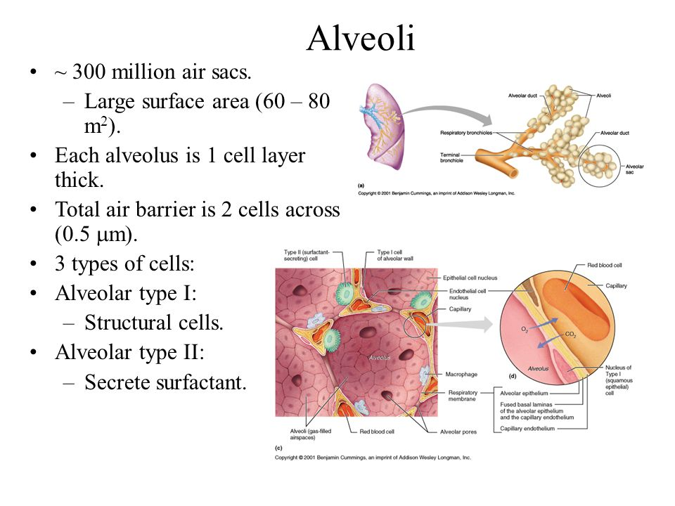 Alveoli ~ 300 million air sacs. Large surface area (60 – 80 m2).