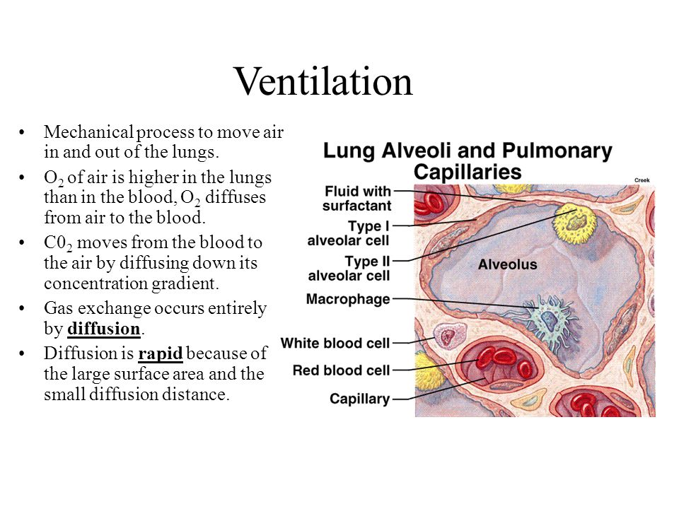 Ventilation Mechanical process to move air in and out of the lungs.