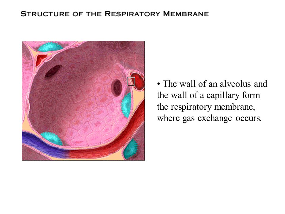 • The wall of an alveolus and the wall of a capillary form the respiratory membrane, where gas exchange occurs.