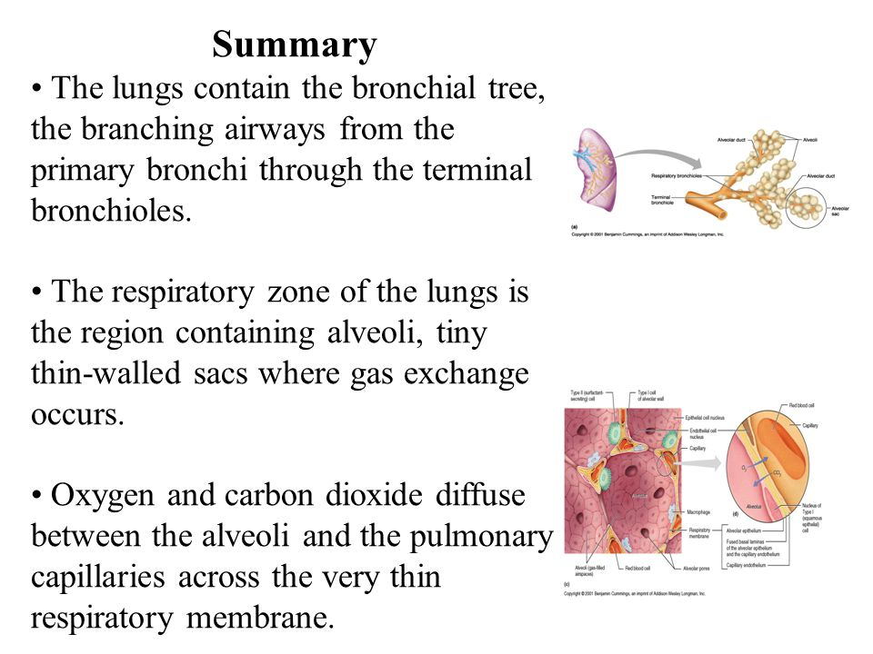 Summary • The lungs contain the bronchial tree, the branching airways from the primary bronchi through the terminal bronchioles.