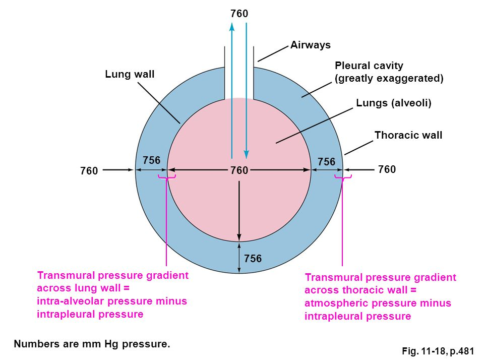 (greatly exaggerated) Lung wall
