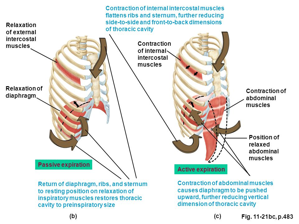 Contraction of internal intercostal muscles