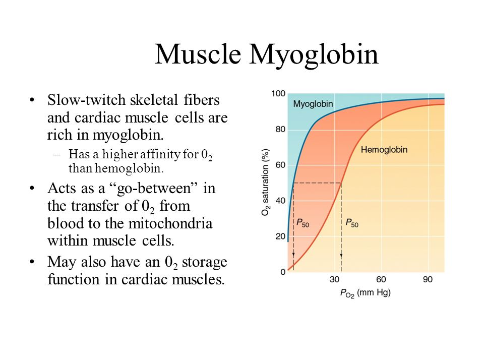 Muscle Myoglobin Slow-twitch skeletal fibers and cardiac muscle cells are rich in myoglobin. Has a higher affinity for 02 than hemoglobin.