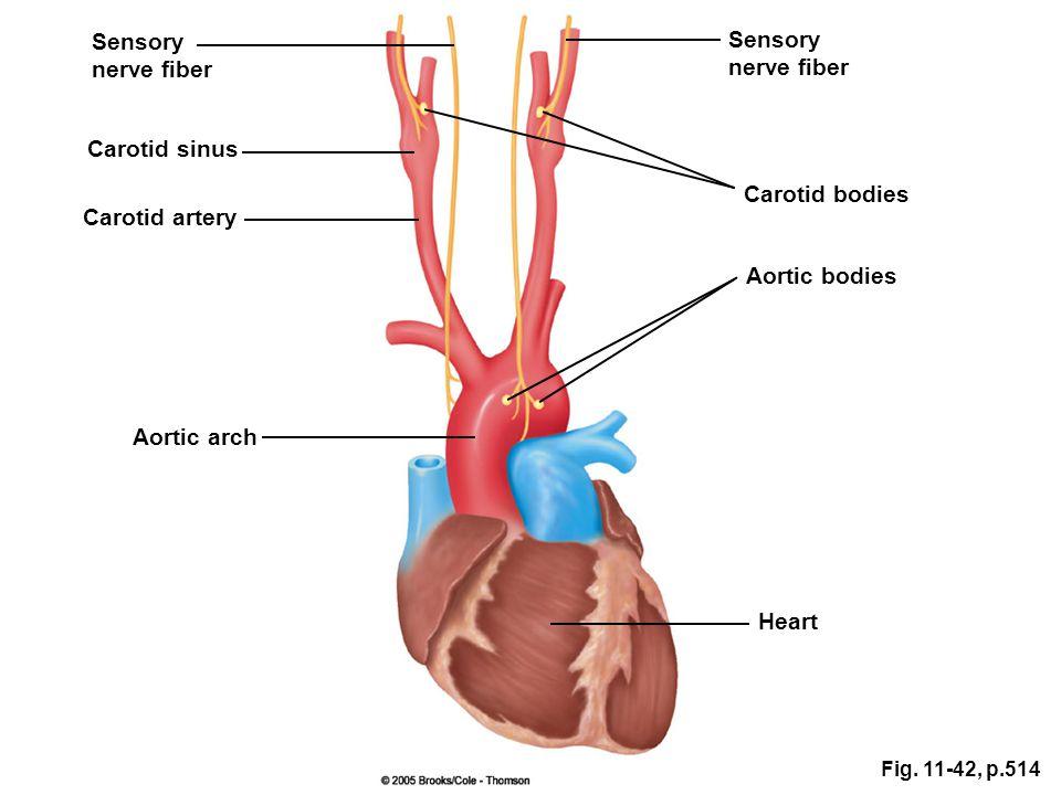 Sensory Sensory nerve fiber nerve fiber Carotid sinus Carotid bodies