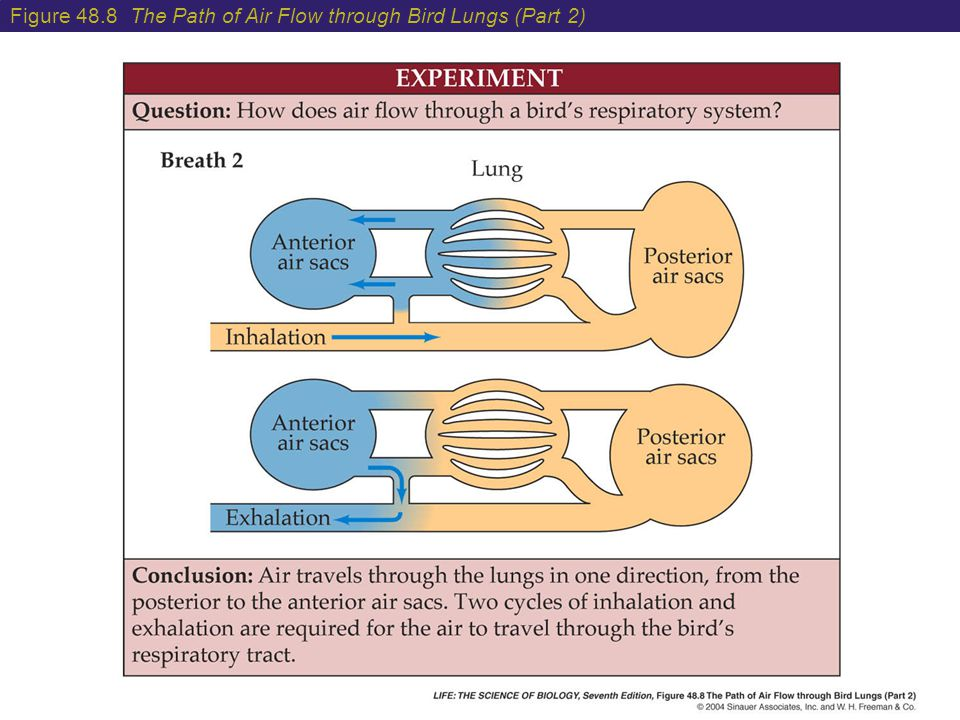 Figure 48.8 The Path of Air Flow through Bird Lungs (Part 2)
