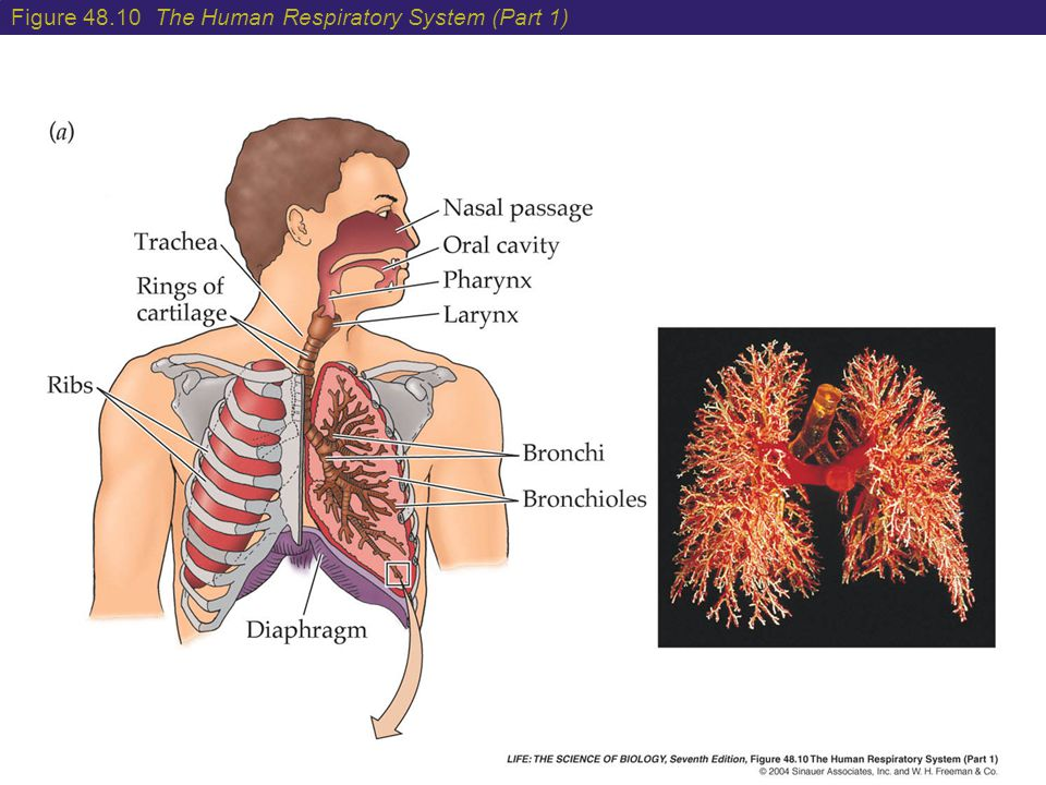Figure 48.10 The Human Respiratory System (Part 1)